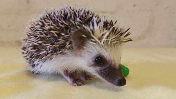 Ethical African Pygmy Hedgehog Breeder, Custom Built Vivariums and all things…