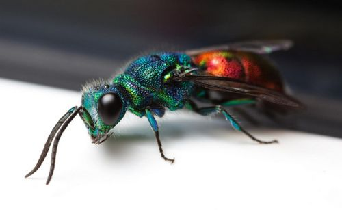 RUBY-TAILED WASP/CUCKOO WASP (Ancistrocerus antilope) ©Carl Reid        Ruby-Tailed Wasps are often seen running over walls, banks and tree trunks in search of the nests of the insects (usually other wasps and bees) that they parasitize.      The female Ruby-Tailed Wasp searches for nests of other solitary insects – in the case of Chrysis ignita, mason bees – in which eggs have already been laid. The Ruby-Tailed Wasp then lays her eggs in the same nest.      When the Ruby-Tailed Wasp larvae…