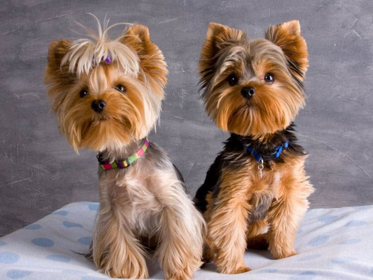 Strange The 25 Best Ideas About Yorkie Haircuts On Pinterest Yorkshire Hairstyles For Men Maxibearus