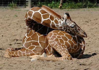 Giraffes Sleep