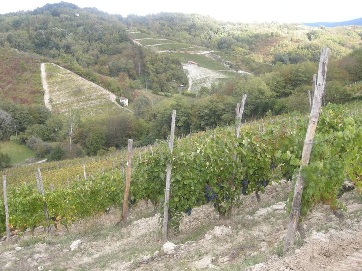 Grapes Harvest 2013 in Tacchino Raffaele Wineyards in Piedmont