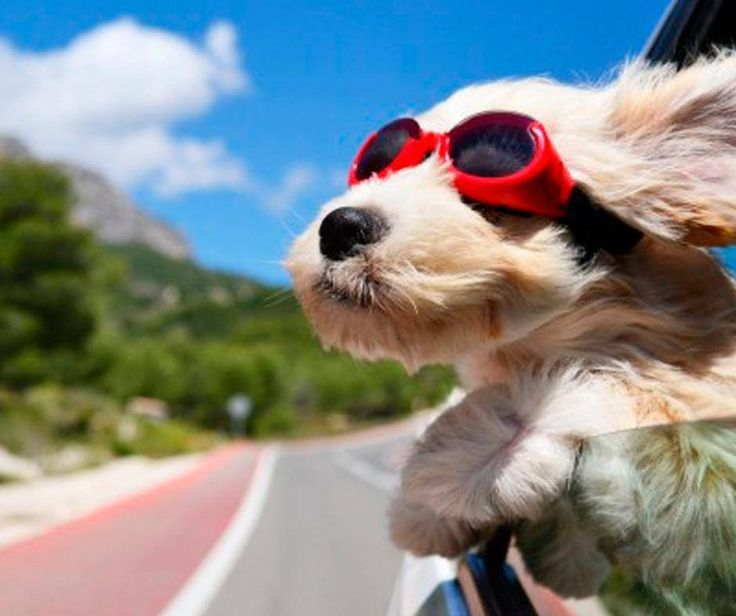 When travelling with your pet, a safety harness or a barricade across the backseat is important. Also make sure there is good ventilation. If your best friend is travelling in the back of an utility verhicle, take care with an ample size cage and don't forget about shade. #PetSafety #PetPoolWarehouse