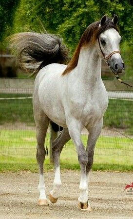 Chippendale V - unusually coloured Arabian.