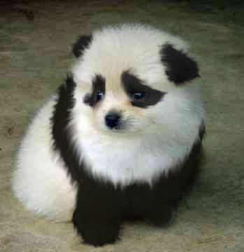 I was promised a panda dog once I graduate med school!! Im seriously going to hold my Dad to that promise! I mean lookie! Its soo fluffy I could die ♡♡♡♡☆☆☆♡♡♡♡<<<< might have to lay that in my dad as a highschool graduation gift ... hmmmm