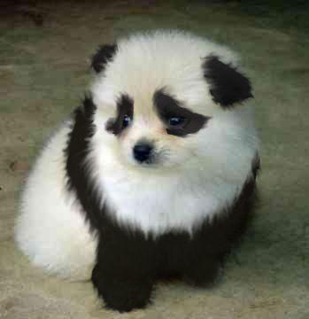 Buy a Panda Dog   panda dog by grypwolf-fan on deviantART