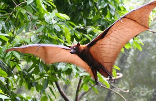 While some mammals like flying squirrels, sugar gliders and colugos can glide through the air for short distances, bats are capable of true, sustained flight.  Unlike birds, which move their entire forelimbs, bats fly by flapping their webbed digits. The membrane of the wings is sensitive and delicate, and while it can be easily ripped, it can just as easily regrow.