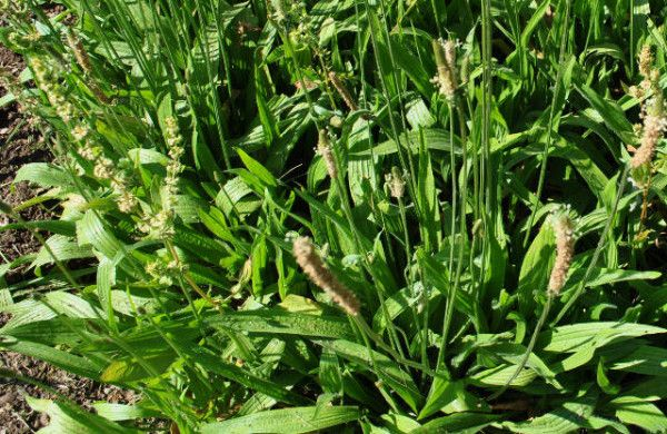 Nome botânico:Plantago major L. Sin.: Plantago borysthenica (Rogow.)Wiss…