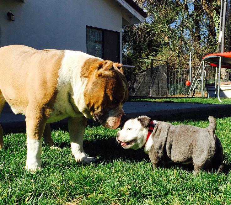 King Gotti Pups