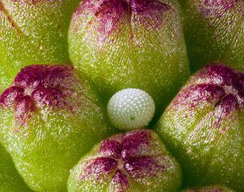 Huevo de Hermiargus isola, entre  botones de Mimosa strigillosa. Fotografía: David Millar