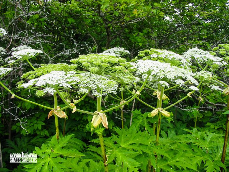 Warning  Giant Hogweed produces a toxic sap which reacts to light (particularly sunlight) on the skin. Contact with the plant may cause effects ranging from a mild rash to watery blisters to possible chronic dermatitis, all of which may require hospital treatment.  www.grassbarbers.co.uk
