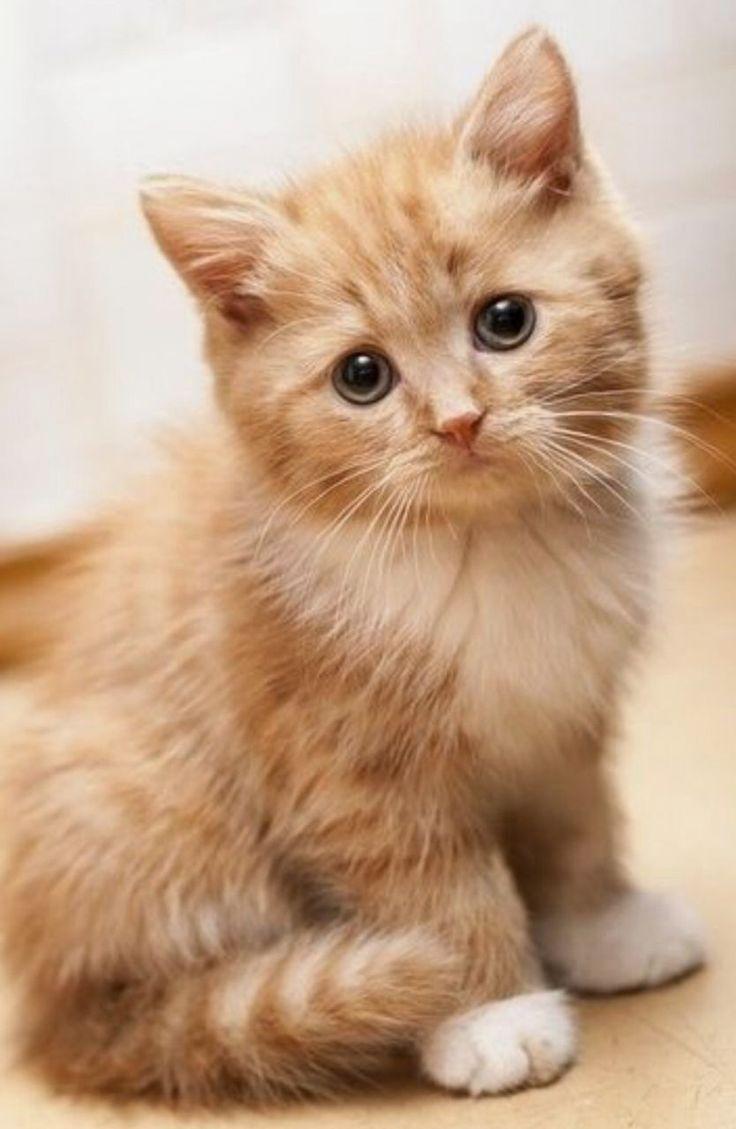 Best 25 Siberian kittens ideas on Pinterest