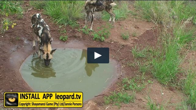 Wild dogs are independent of surface water; which suggests that their system is efficient enough to absorb as much moisture from their food as needed. They can go long periods of time without needing water; however, to us it seems like the Shayamanzi wild dogs loves the water. Drinking the water is not enough, some of them also like to lie in it and then drink...#leopardtv #carnivores #nature