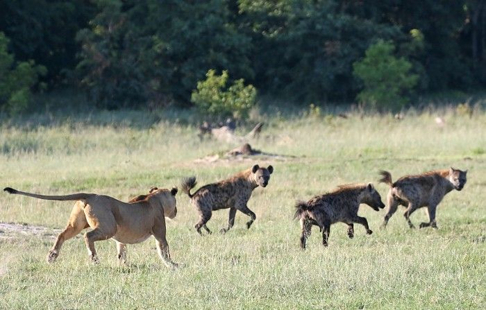 Lion and Hyaena Games at Little Makalolo #Hwange #Zimbabwe