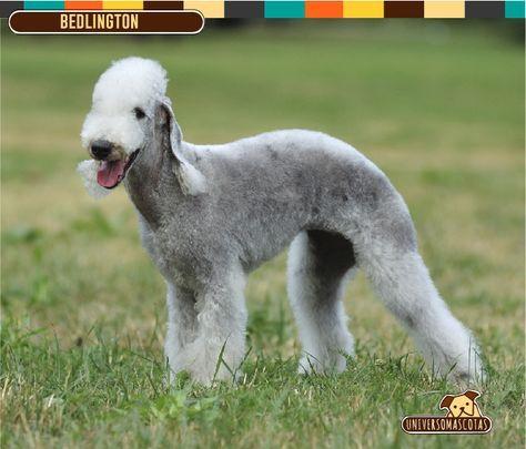Origen: Reino Unido Tamaño: Mediano, aprox. de 38 a 44 cm. Conoce más de esta raza en: http://www.universomascotas.co/razas/perros/bedlington-terrier/100