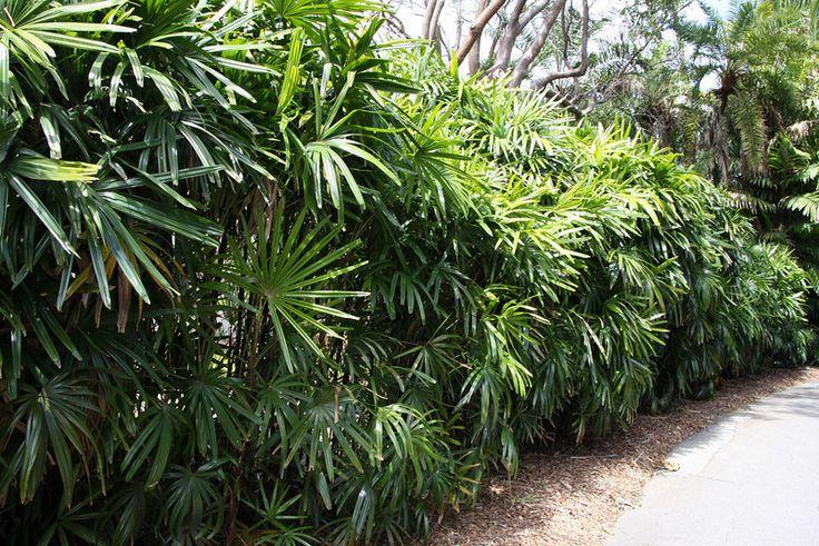 Lady Palms Google Image Result Hedge Idea Garden
