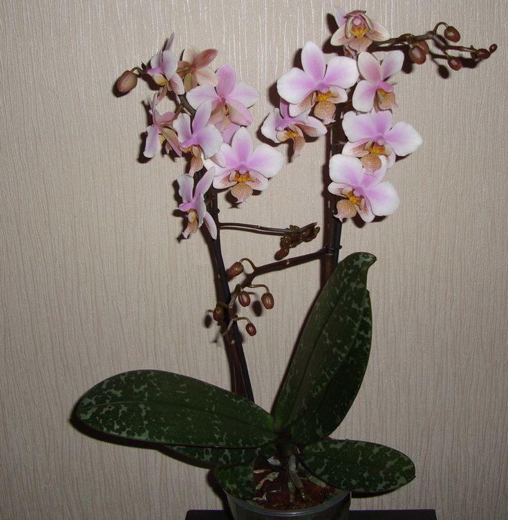 Пышное цветение у орхидей.