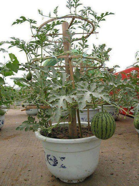 tips for growing watermelon in containers