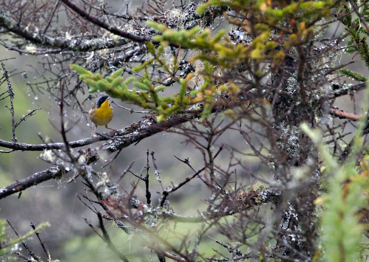 Yellow-Throat Warbler