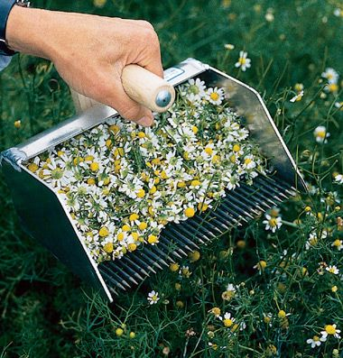 Chamomile Rake. Very cool! I would LOVE to have one of these when I grow mine.