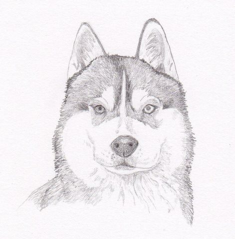 Siberian Husky Signed Personalized Original Pencil Drawing Double
