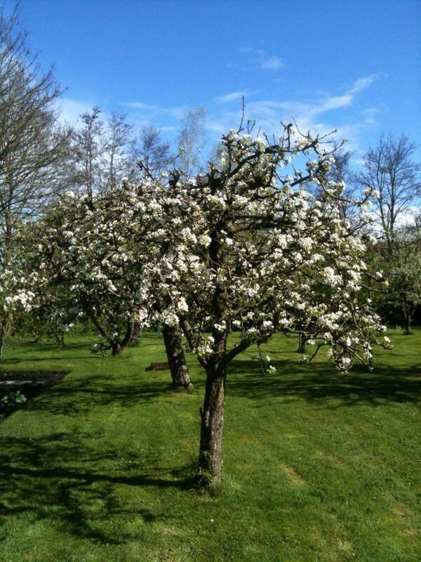 Onze perenboom bloeit. Vroeg dit jaar.