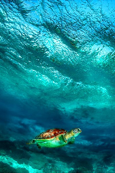 ~~Under a wave ~ turtle, Apo island, Philippines by Andrey Narchuk~~