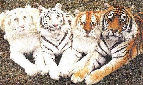 Kitty!: Animals, Big Cats, Color, Bigcats, Beautiful, Bengal Tiger, Tigers, Wild Cats