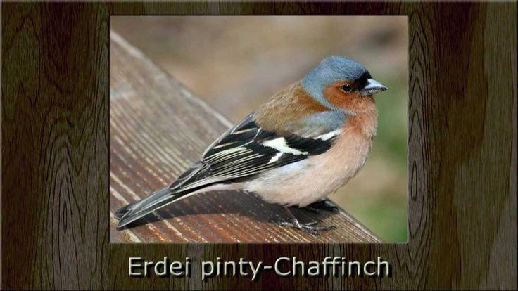 Madárdalok Magyarországról - Középhegységi lombos és fenyőerdők madarai