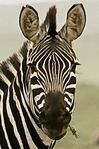 Zebras Face | Zebras | Pinterest | Beautiful, Pink and Stripes