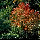 Northwood Red Maple (Acer rubrum 'Northwood') at Millcreek Nursery Ltd