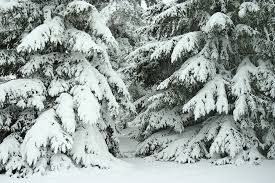 Image result for PICTURES snow laden scotch pine trees in winter