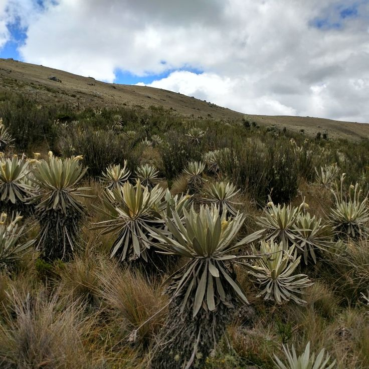 Do you know that these little frailejón plants capture water from air? Where can you find them, what lies beyond?  #sumapaz #paramo #espeletias  Stay tuned #unknowncolombia