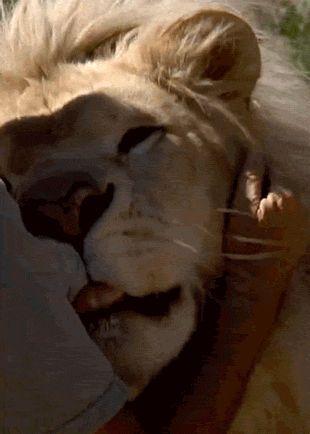 All I Want To Do Is Hug Lions. (animated GIF)