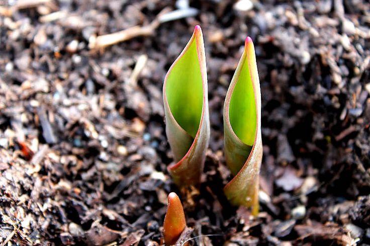 Újdonság: Hogyan ültesd a tavaszi hagymás virágokat cserépbe – útmutató, http://kertinfo.hu/hogyan-ultesd-a-tavaszi-hagymas-viragokat-cserepbe-utmutato/, ezekben a témakörökben:  #Balkonkert #Beltérinövények #Díszkert #Díszkertinövény #Fenyő #Hó #Kert #Kertészkedés #Mag #Növény #Öntözés #Tanácsésötlet #Tavaszi #Téli #télikert #Télikertekkialakítása #Virág #virágföld, írta: Út a Kerthez