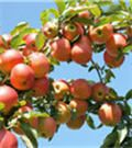 Pink Lady® Apple Tree   The Blushing Stunner from Down Under