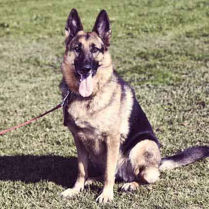 german shepherd protection training top 25 best guard dog training ideas on pinterest dog 2295