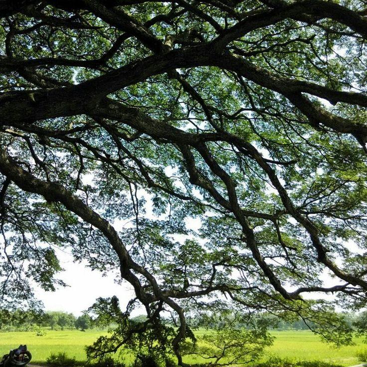 Teduh dibawah pohon