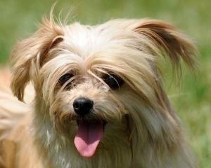 maltese rescue northern california 109 best images about for schmidt on pinterest adoption 3886