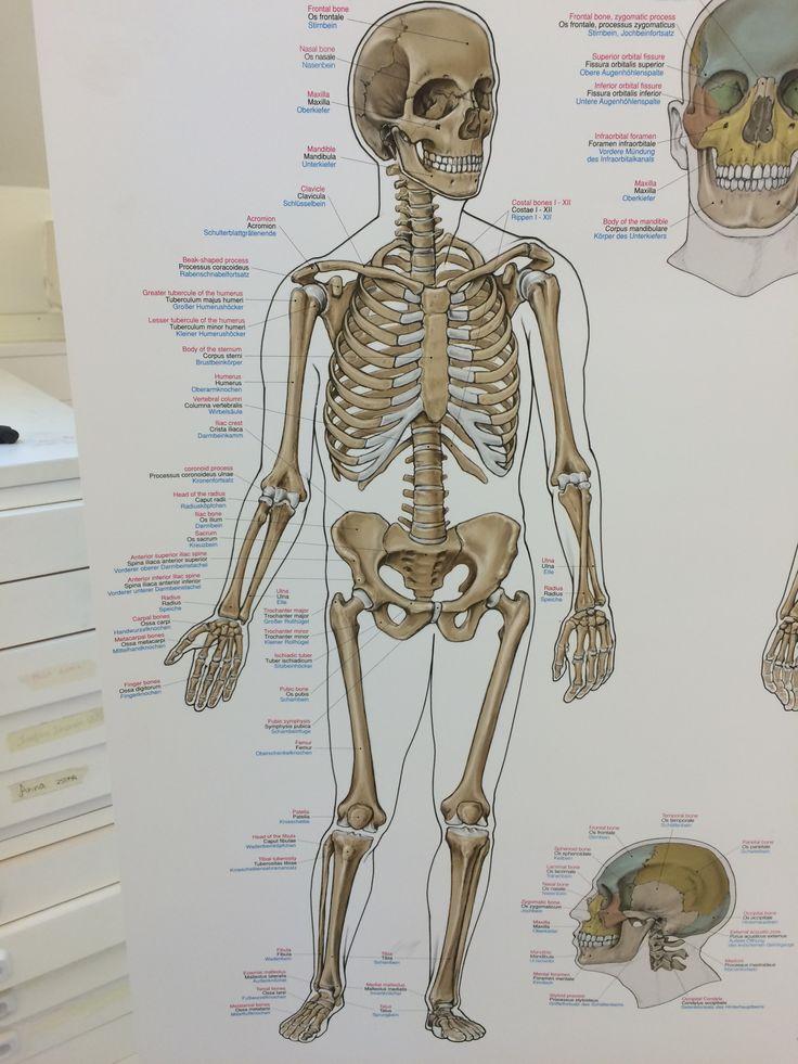 Berühmt Kiefernerv Galerie - Menschliche Anatomie Bilder ...