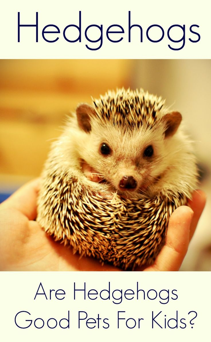 Are Hedgehogs A Good Pet For Kids? (With images) Best