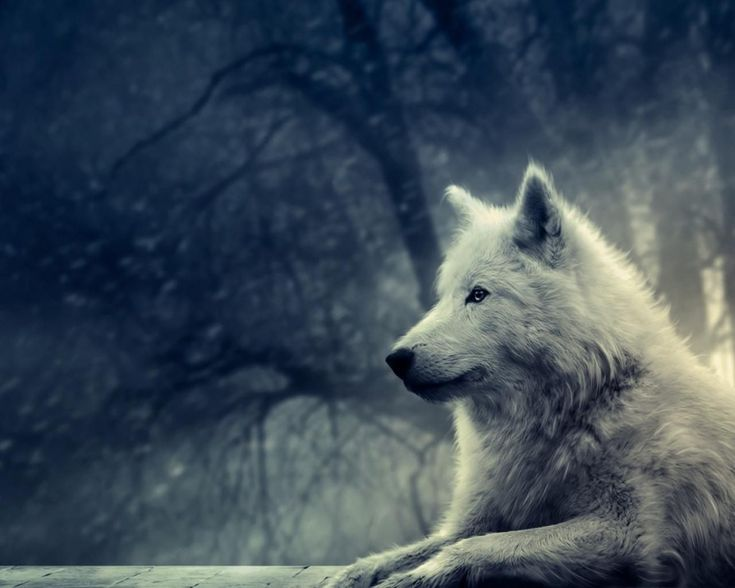 Beautiful Wolf Pictures and Backgrounds | Resoluções disponíveis