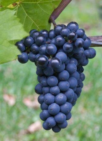 Rajin makan buah anggur tak hanya menurunkan risiko penyakit jantung tp menghilangkan lemak perut.