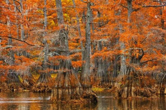 Cypress Trees in New Orleans | Cypress trees in autumn colors, Bayou, New Orleans, Louisiana, USA ...: