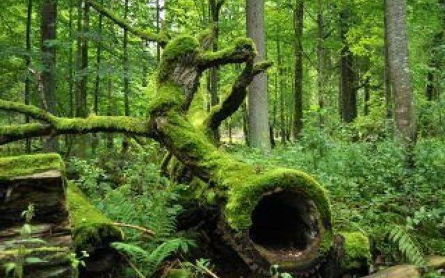 Rischiamo di perdere il nostro polmone verde europeo: dove si trova e perchè Solo una piccola parte di essa (il 16 per cento) è protetto dallo status di parco nazionale e altre parti sono protette dall'Unione Europea e come sito del patrimonio mondiale dell'Unesco. Ora rischi #bialowieza