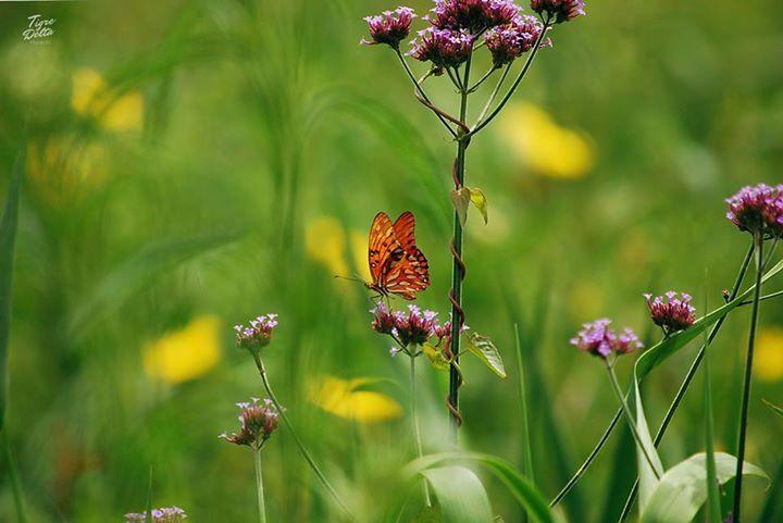 Tigre Delta: Si queres tu jardin con mariposas preserva o planta nativas, las amarillas del fondo son duraznillo de bañado y la violeta verbena bonariensis. Ambas plantas crecen espontaneas y atraen de la misma forma a varias mariposas, en este caso una espejito.