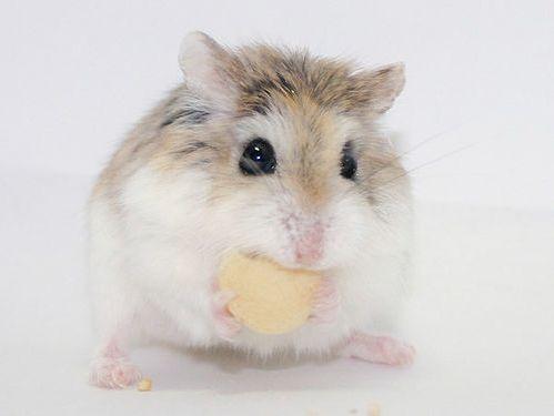25+ best ideas about Dwarf hamsters on Pinterest ...  25+ best ideas ...