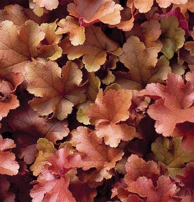 Coral Bells Heuchera 'Marmalade' | Fine Gardening