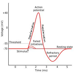 Refractory period (physiology) - Wikipedia, the free encyclopedia