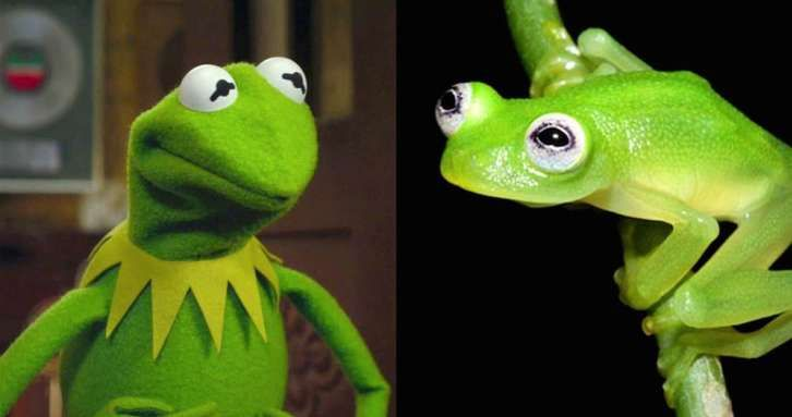 A New Frog Species Has Been Found In Costa Rica. It's Kermit. The New Frog Is Kermit.