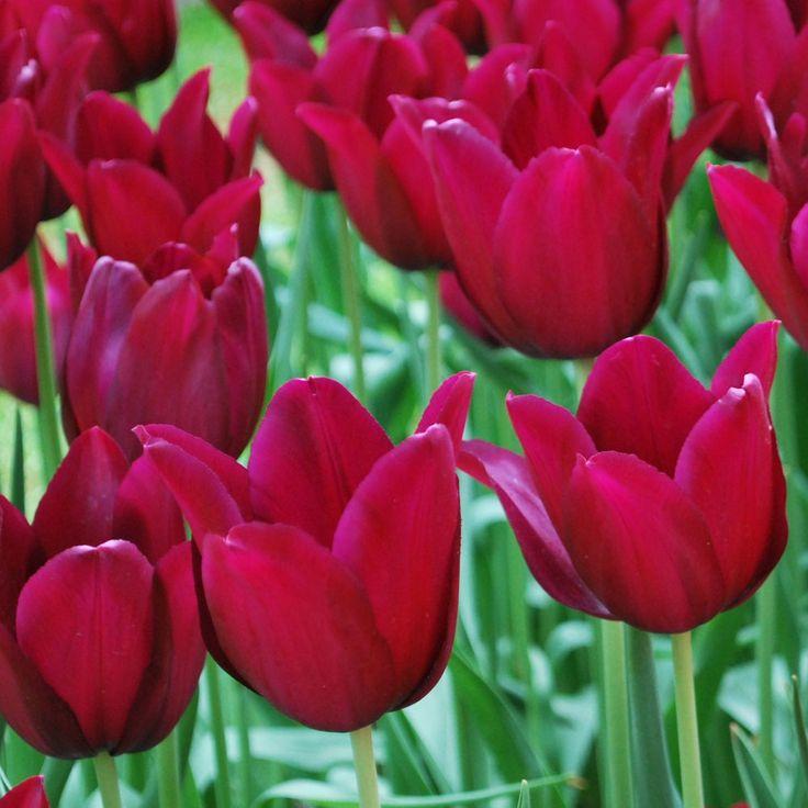 Colors Of Tulips: Tulip Merlot.Wonderful Color